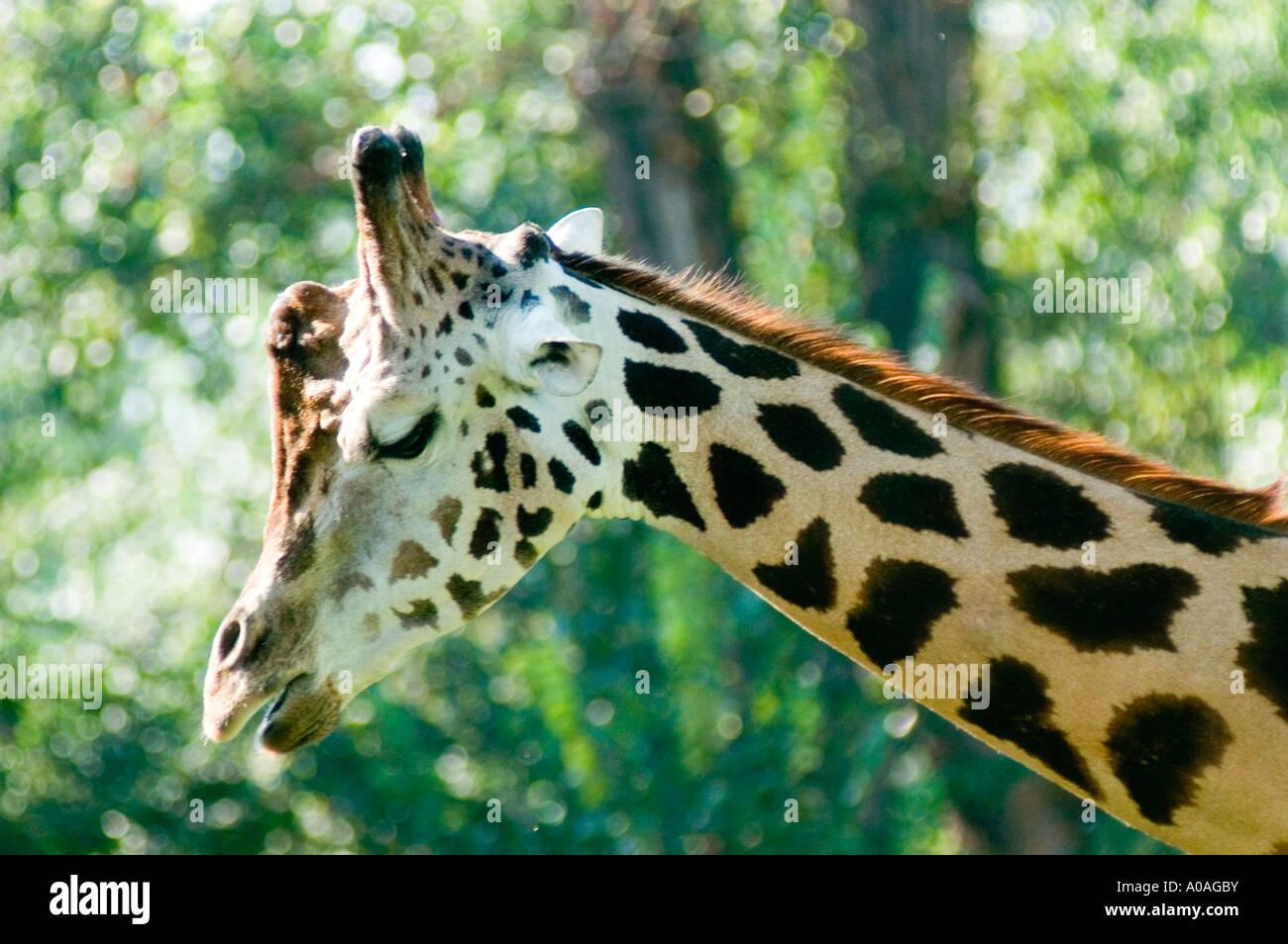 Baringo Giraffe Giraffa camelopardalis rothschild - Stock Image