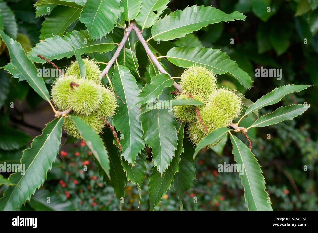 Sweet chestnut tree with nutshells and leaves fagaceae castanea sativa Stock Photo