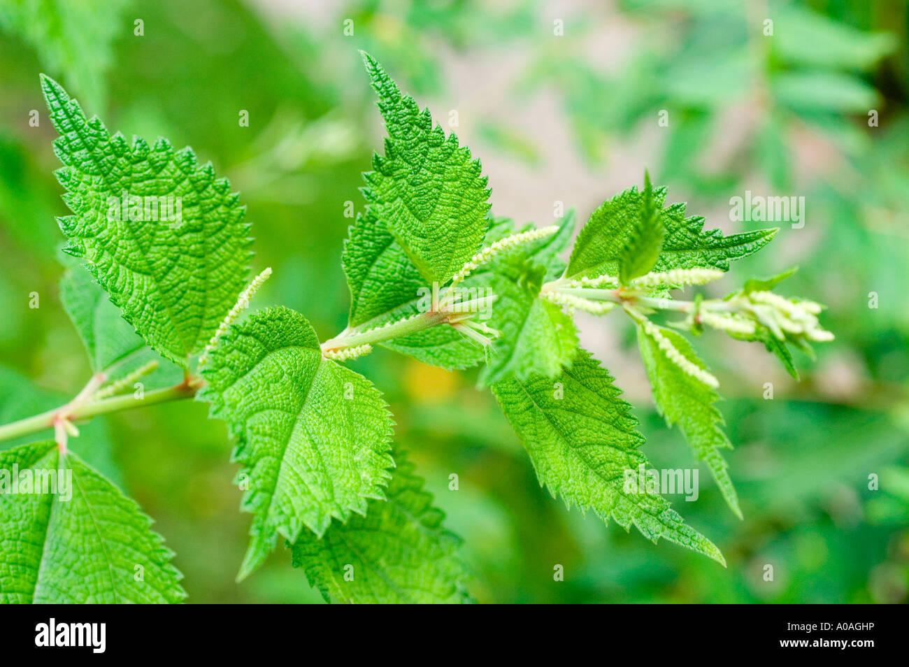 Chinese grass or Rami Urticaceae Boehmeria nivea China - Stock Image