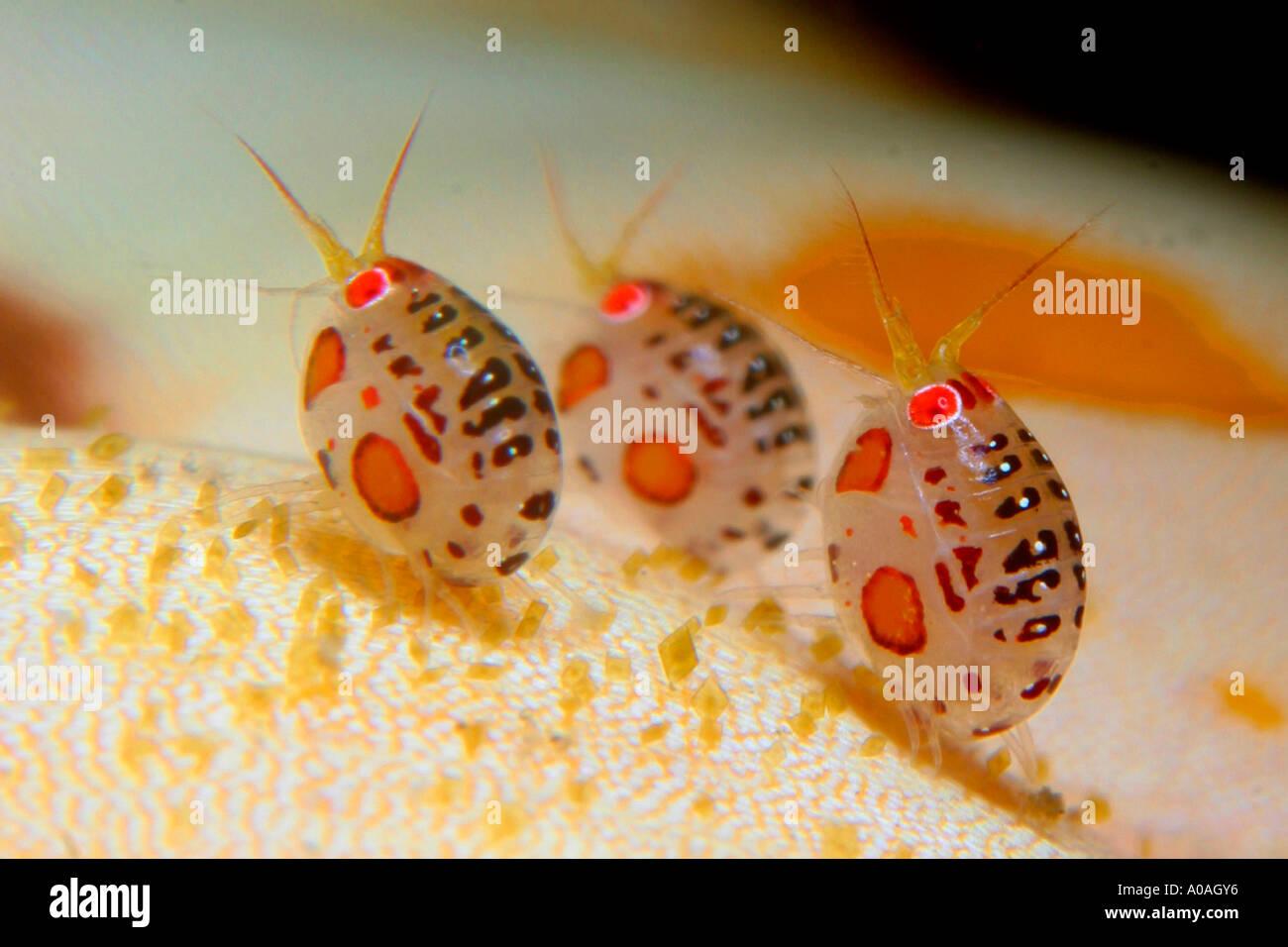 amphipods resembling ladybugs komodo island indonesia stock photo