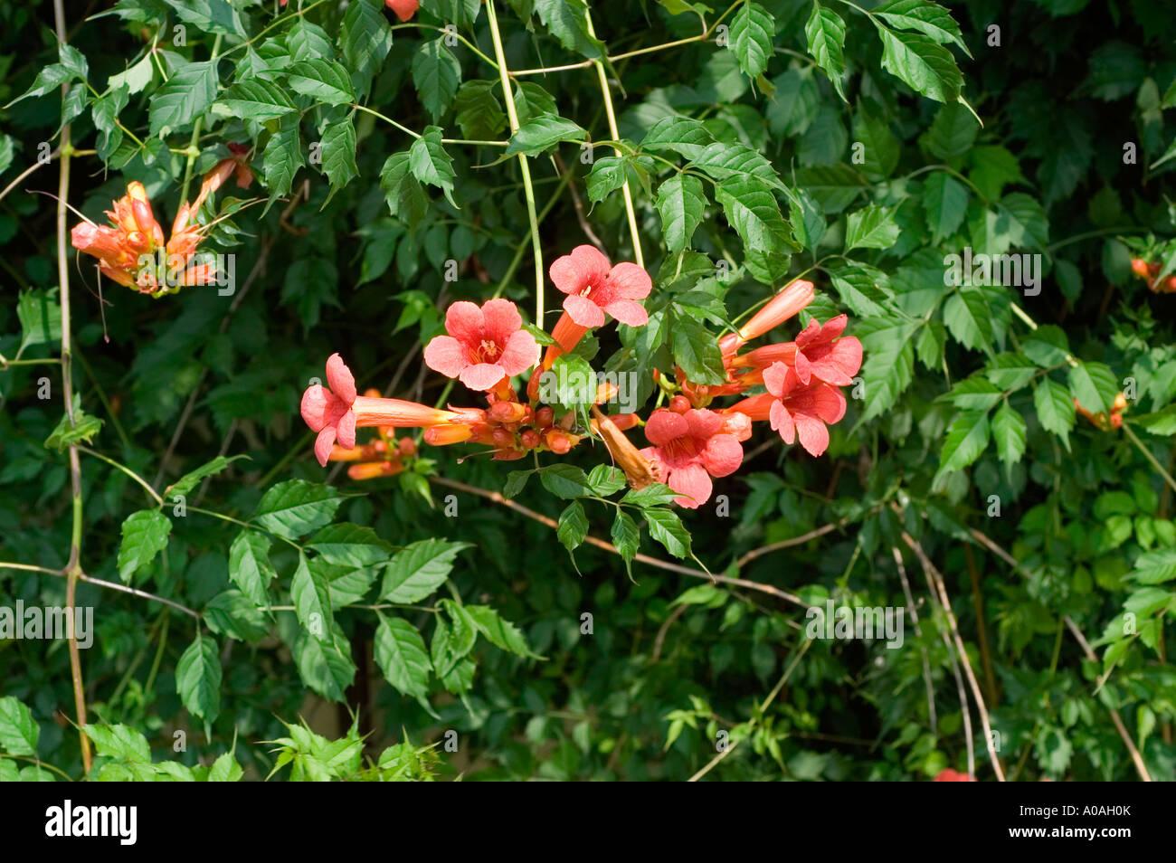 Pink and orange flowers of trumpet vine campsis radicans america pink and orange flowers of trumpet vine campsis radicans america mightylinksfo