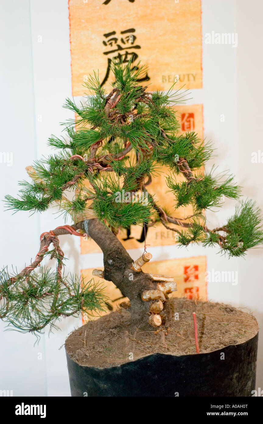 Dwarf Bonsai Or Banzai Tree With Japanese Script In The Background Stock Photo Alamy