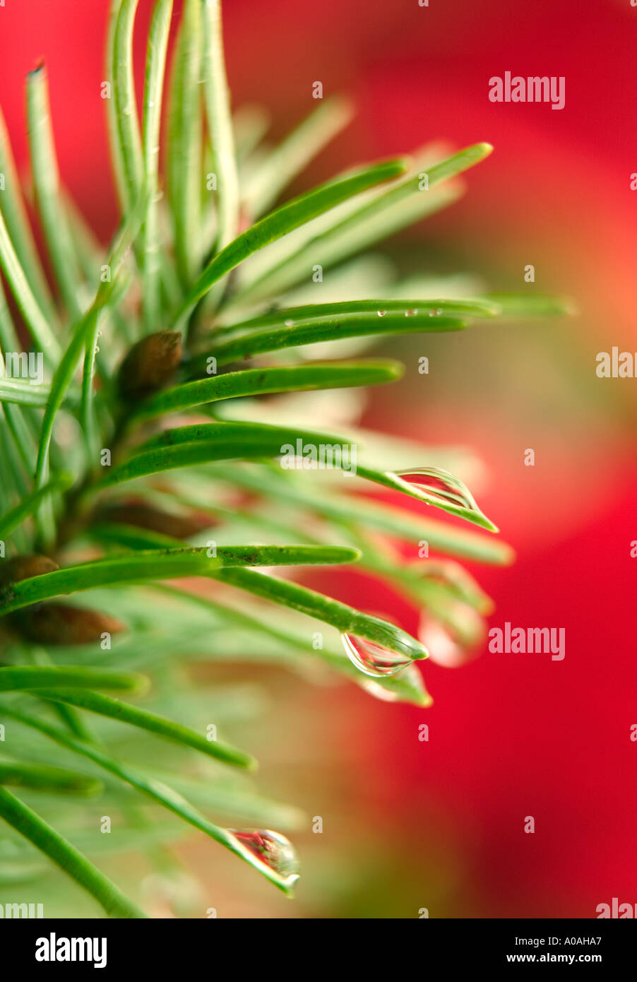 Pine needles and dew with pointsettia in back Near Alpine Oregon - Stock Image