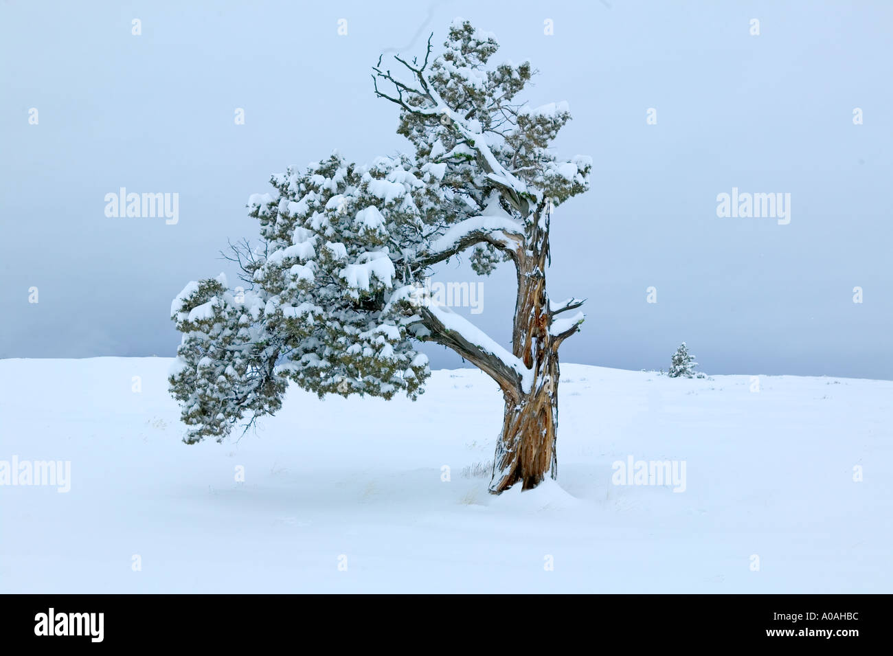 Juniper with fresh snow Near Burns Oregon - Stock Image