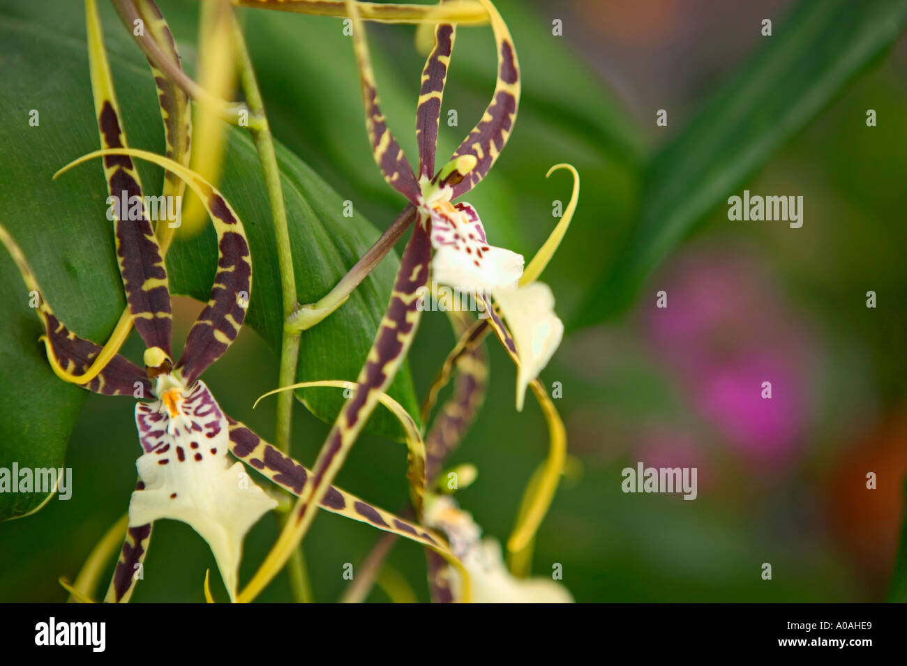 Orchid Obdrs Fangtastic Bob Henley H0F 4 - Stock Image