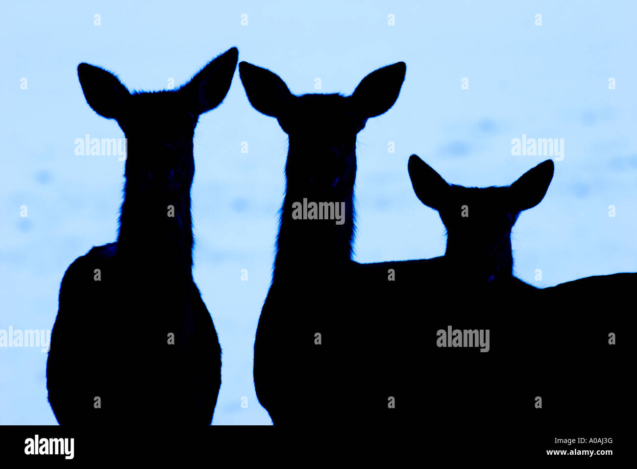 Three hinds (Cervus elaphus) standing in the shaddow on a snowy meadow - Stock Image