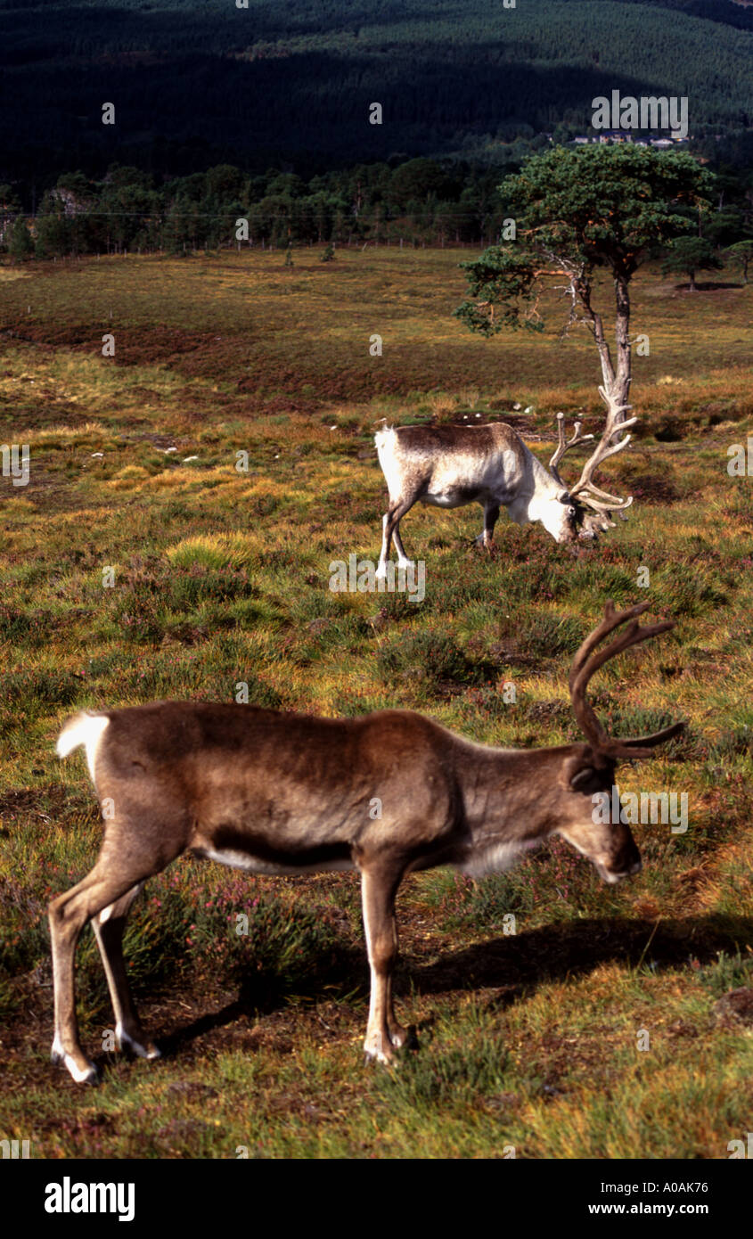 2 Captive but free ranging reindeer photographed in Cairngorm national park Scotttish Highlands Grazing on mountainside Stock Photo