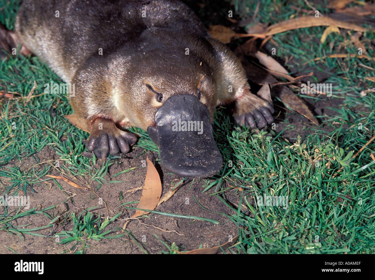 Platypus Ornithorhynchus anatinus Close up of head Stock