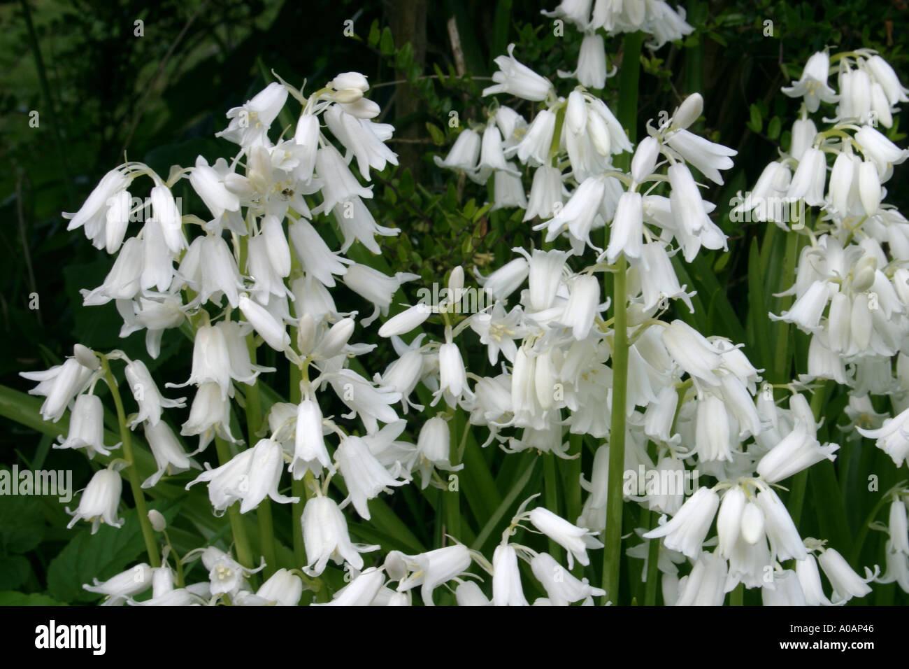 White Bluebell Flowers White Variety Stock Photos White Bluebell
