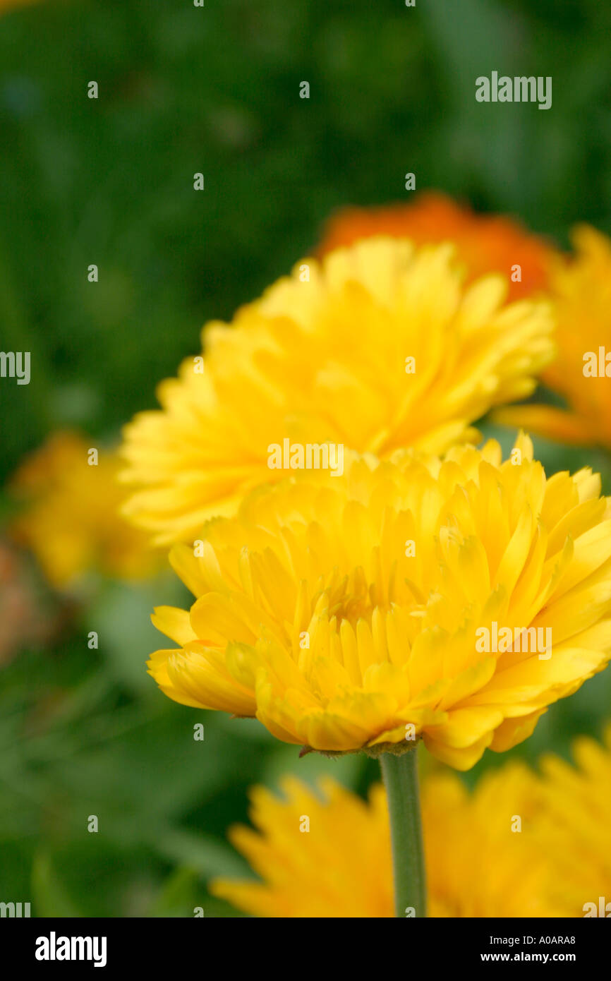 Yellow flowers of summer flowering annual garden plant pot marigold yellow flowers of summer flowering annual garden plant pot marigold botanical name calendula officinalis mightylinksfo