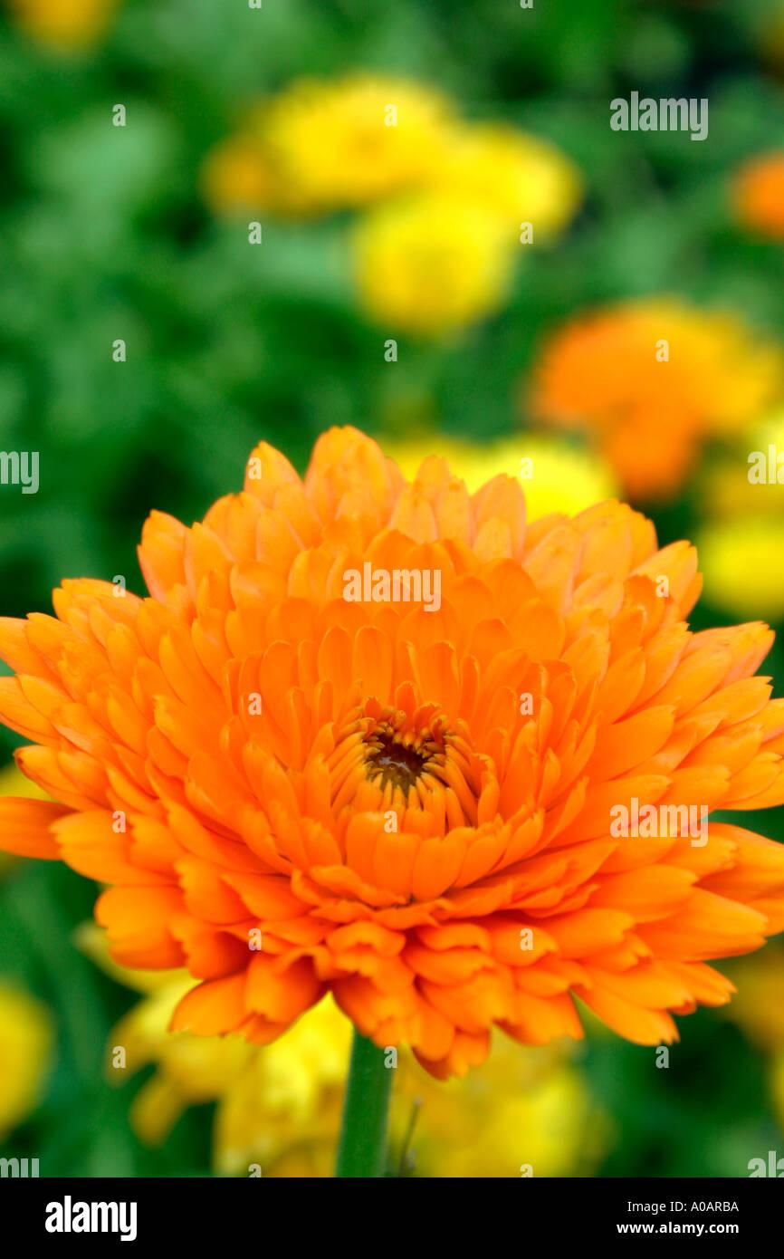 Orange Flower Of Summer Flowering Annual Garden Plant Pot Marigold