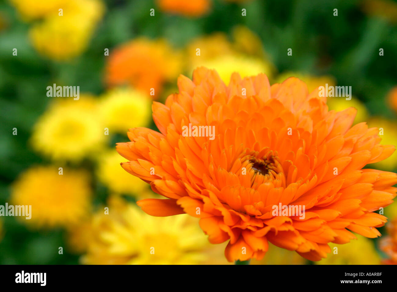 Orange And Yellow Flowers Of Summer Flowering Annual Garden Plant
