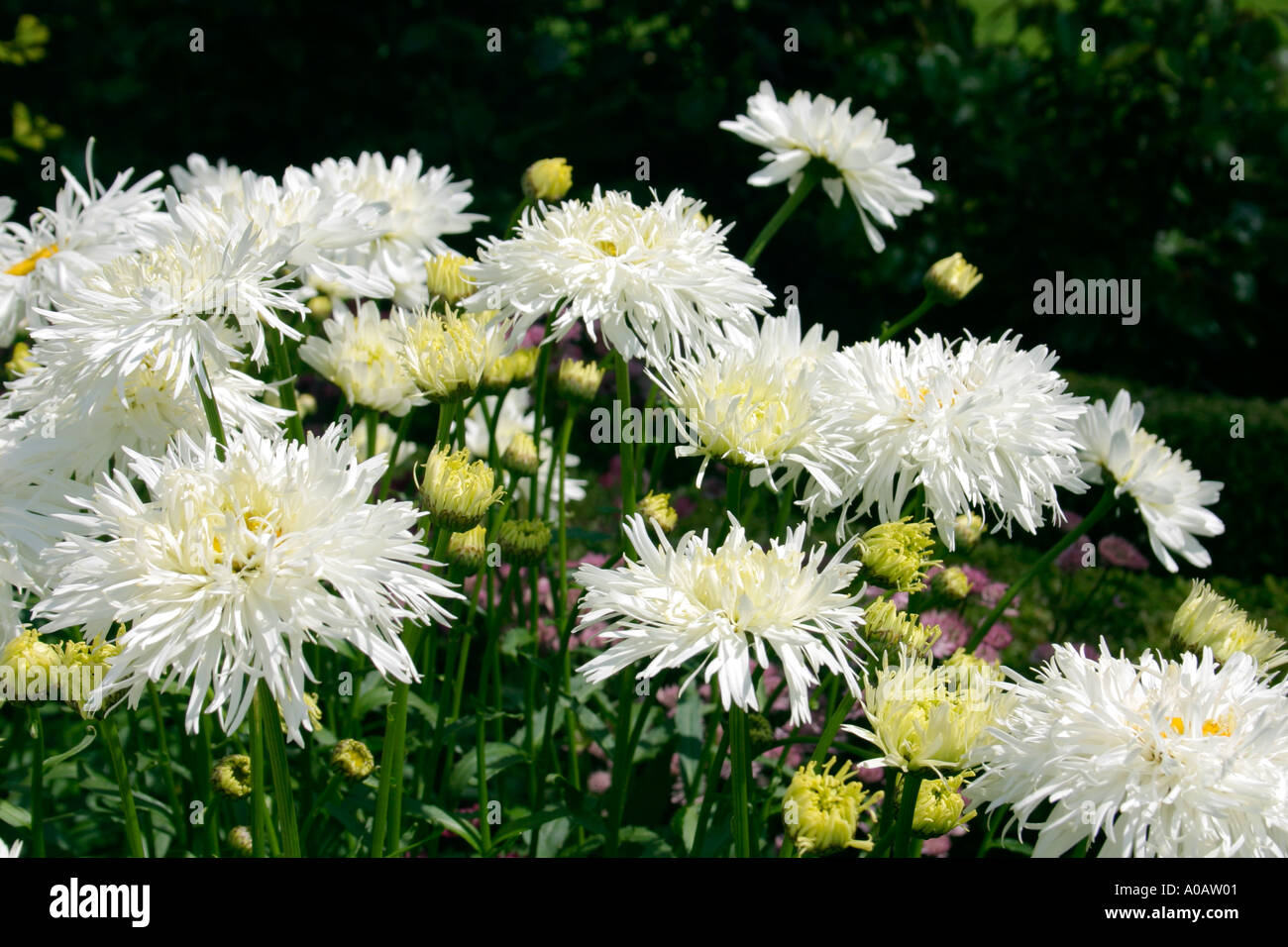White flowers of garden plant leucanthemum x superbum shaggy common white flowers of garden plant leucanthemum x superbum shaggy common name shasta daisy mightylinksfo