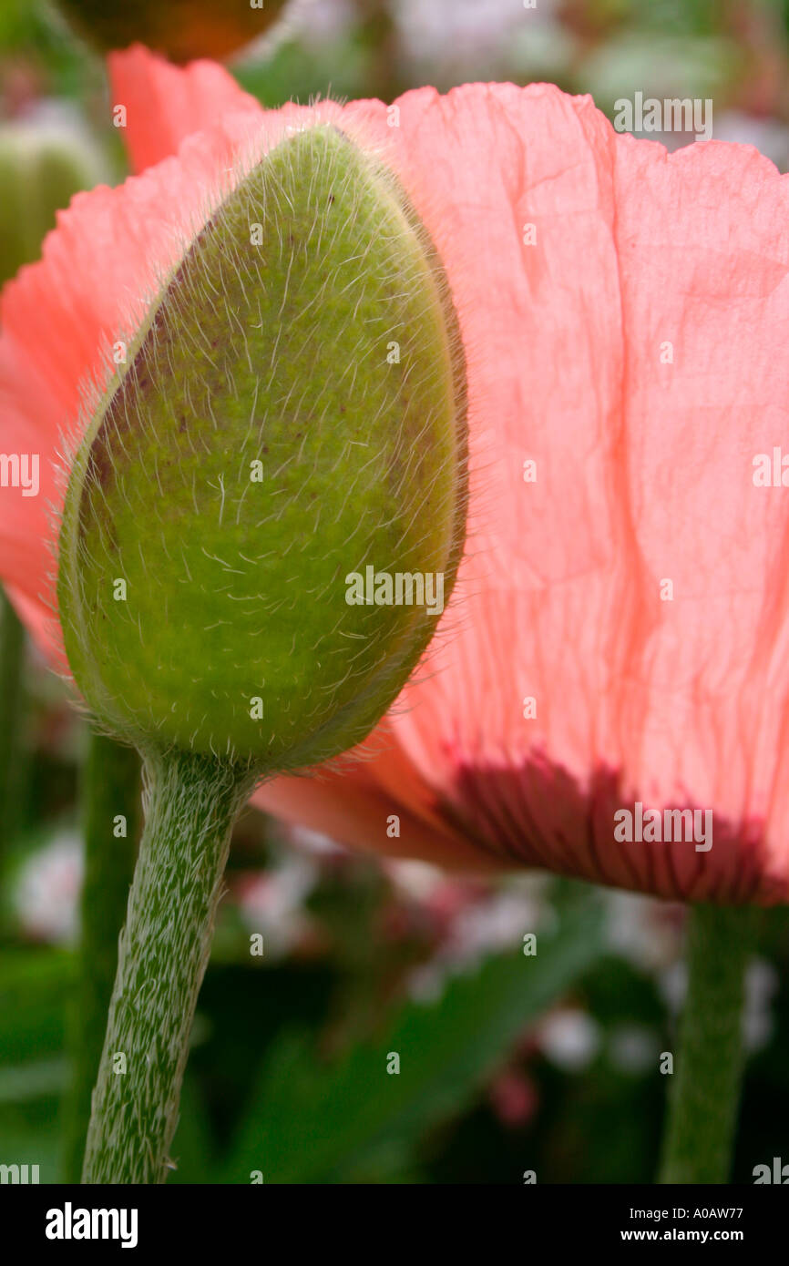 Pink Poppy Flower And Unopened Flower Bud Stock Photo 3244406 Alamy