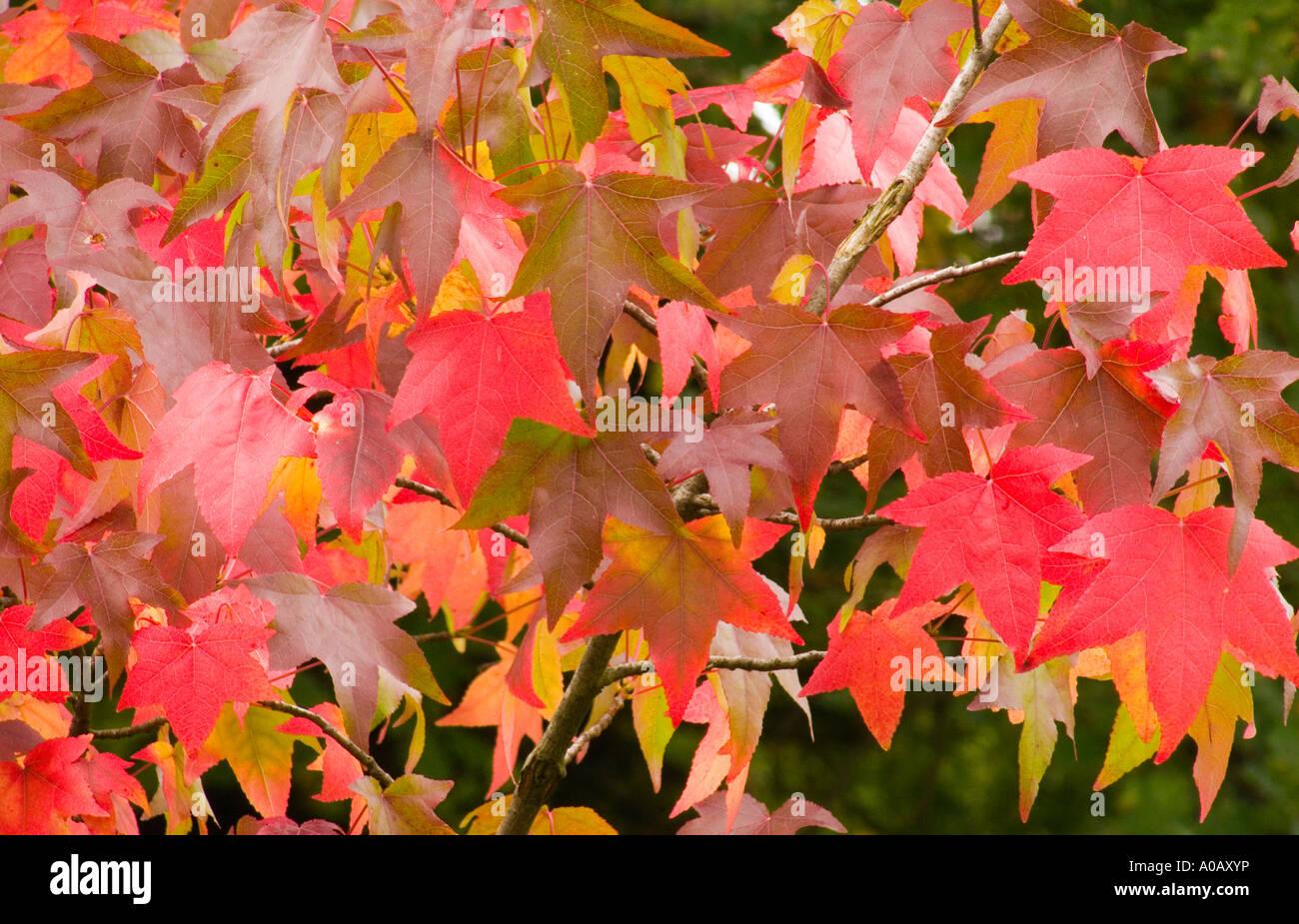 Sweet Gum Tree Leaves Turning Red In Autumn Liquidambar Styraciflua Stock Photo Alamy