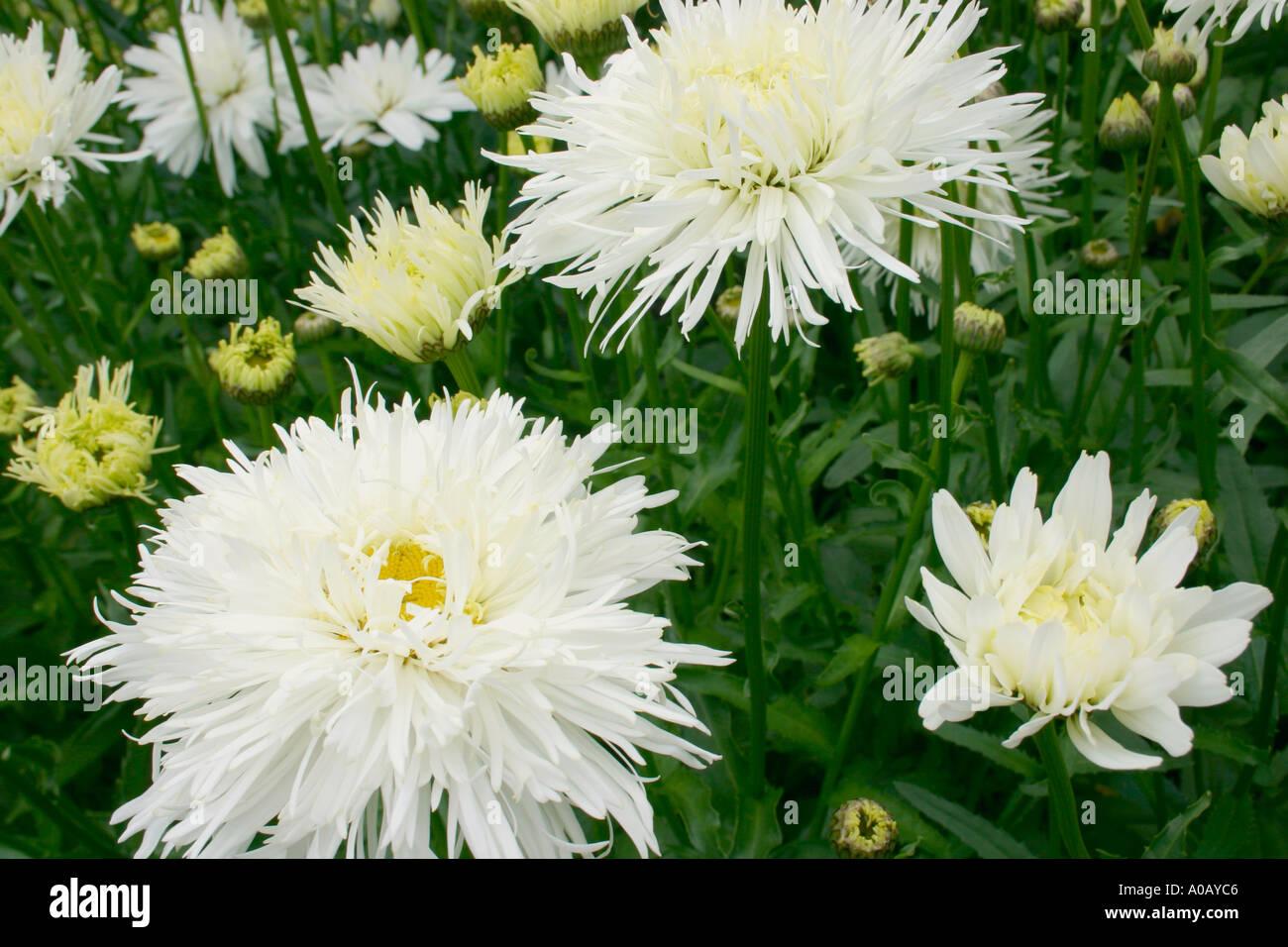 White Flowers Of Garden Plant Leucanthemum X Superbum Common Name