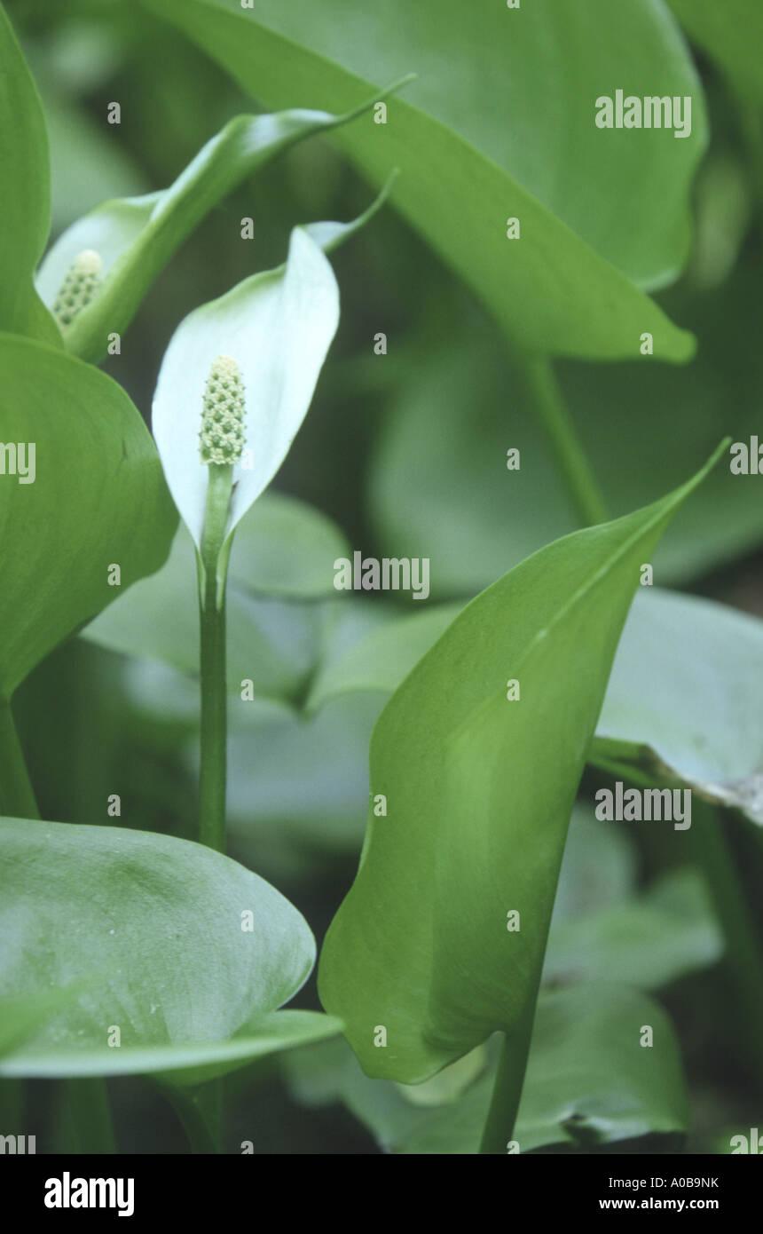 bog arum, wild calla (Calla palustris), blooming - Stock Image