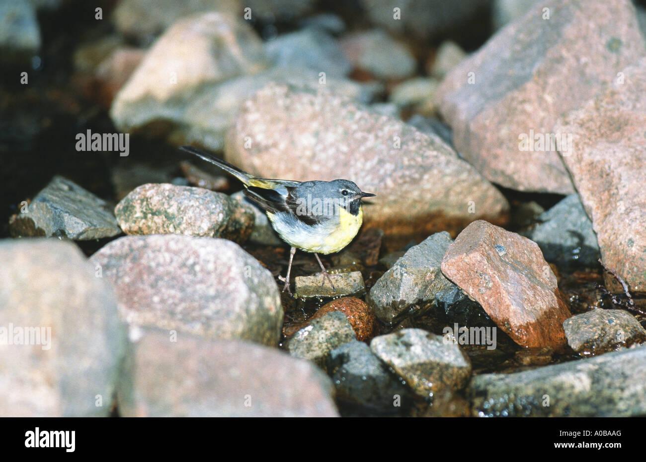 grey wagtail (Motacilla cinerea), male, United Kingdom - Stock Image