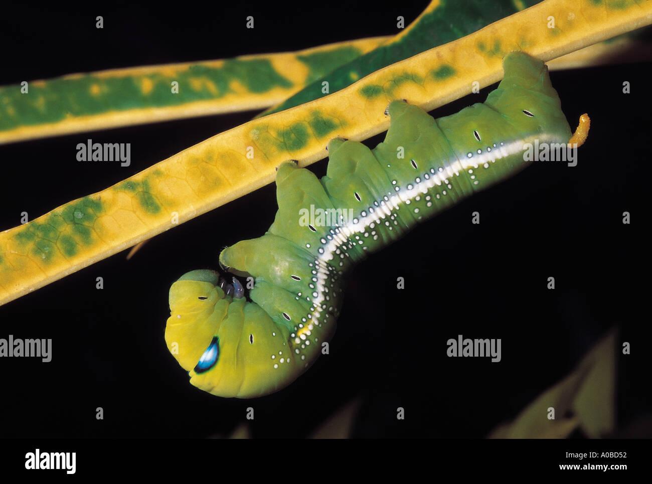 Blue-eyed caterpillar. Stock Photo