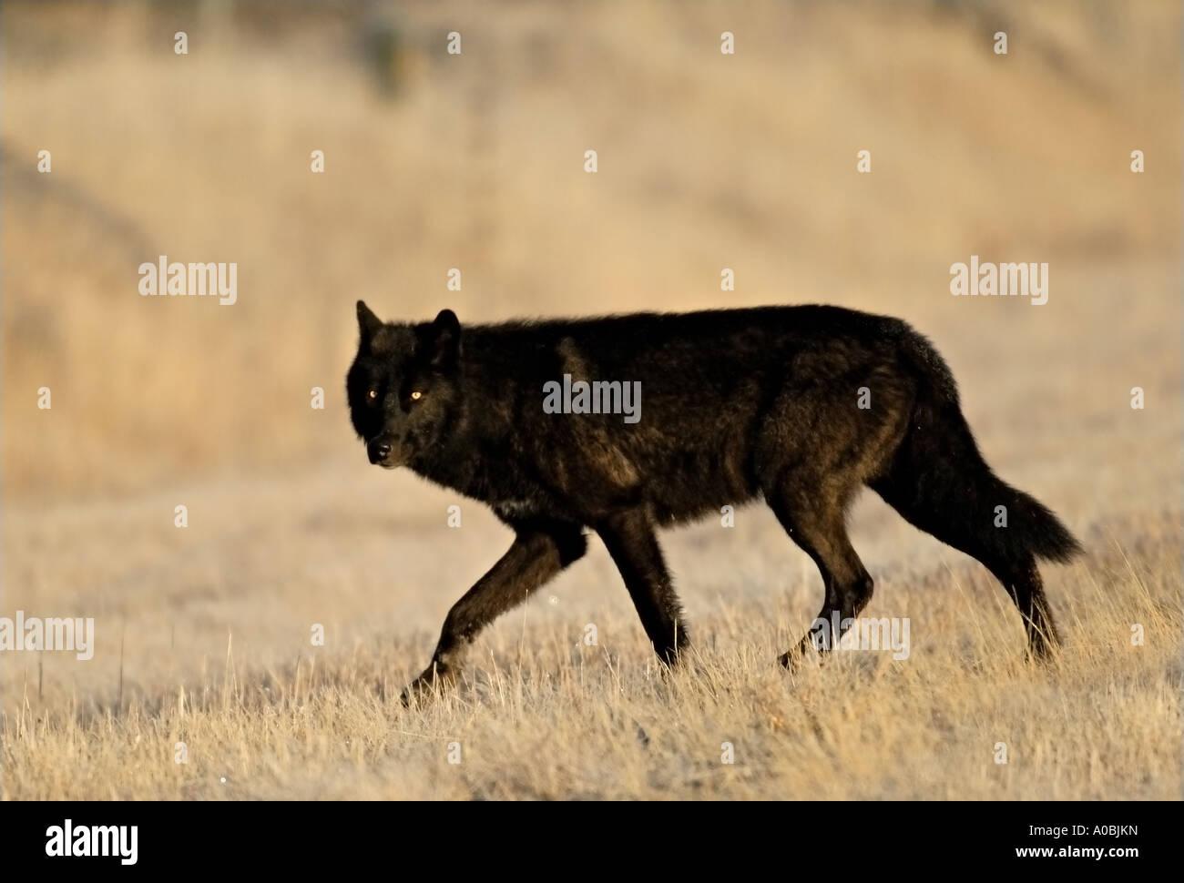 Wolf Dog Stock Photos & Wolf Dog Stock Images - Alamy