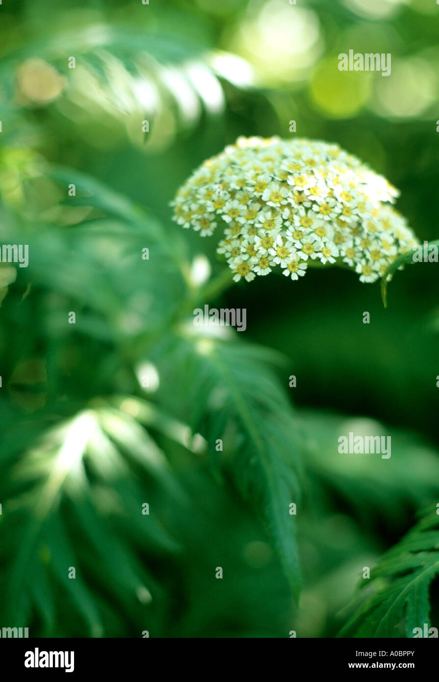 Flower head and leaves in sunlight - Stock Image