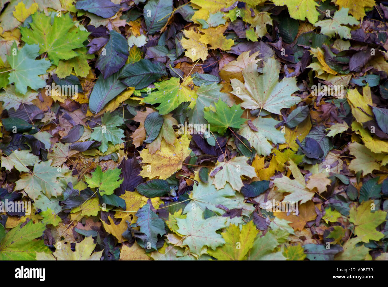 A lot of leafs on the gruond in Gronland Norway captured October 2006 - Stock Image
