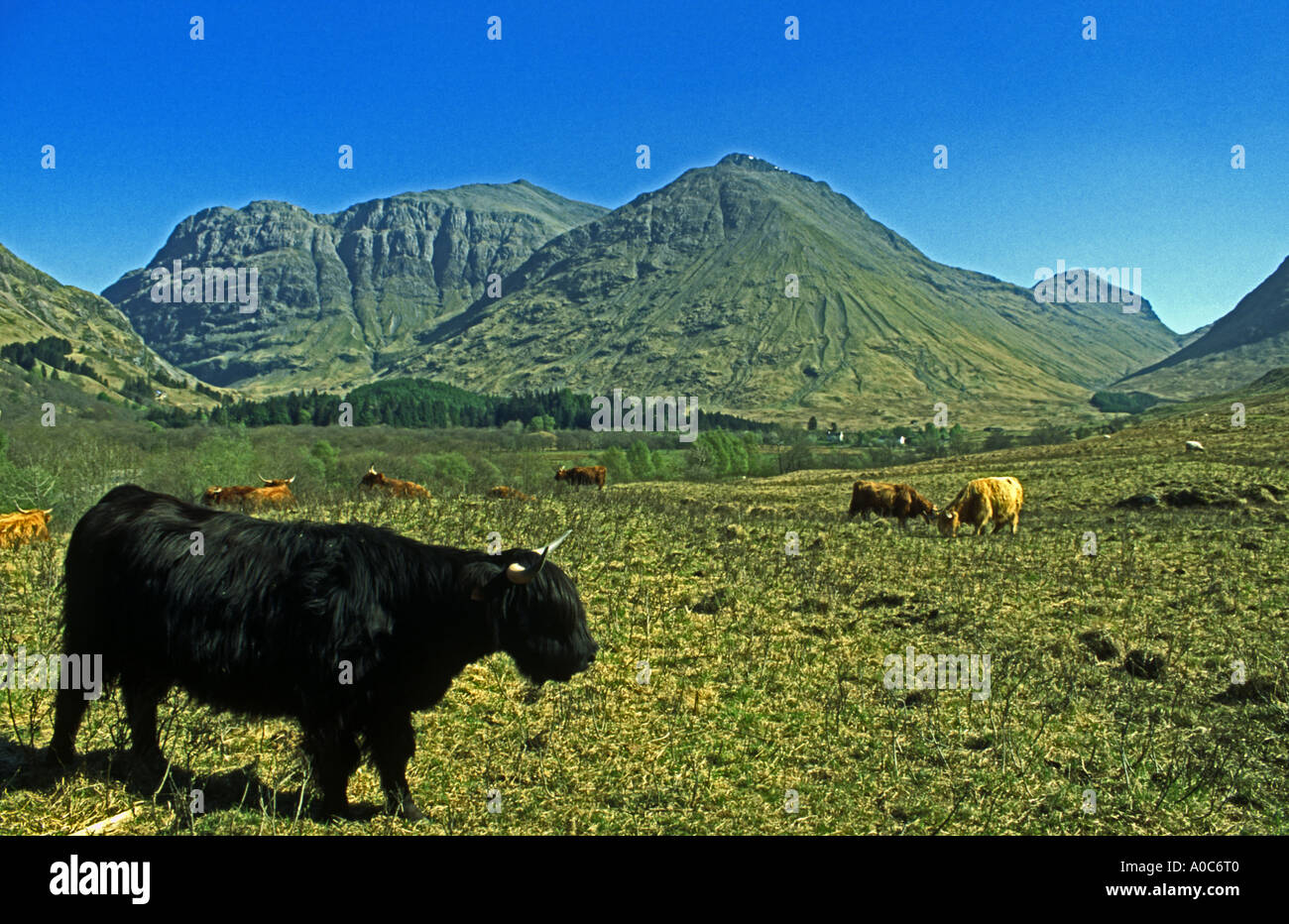 A rare black highland cattle in Glen Coe Scotland adjacent to The National Trust for Scotland Visitor Centre Stock Photo