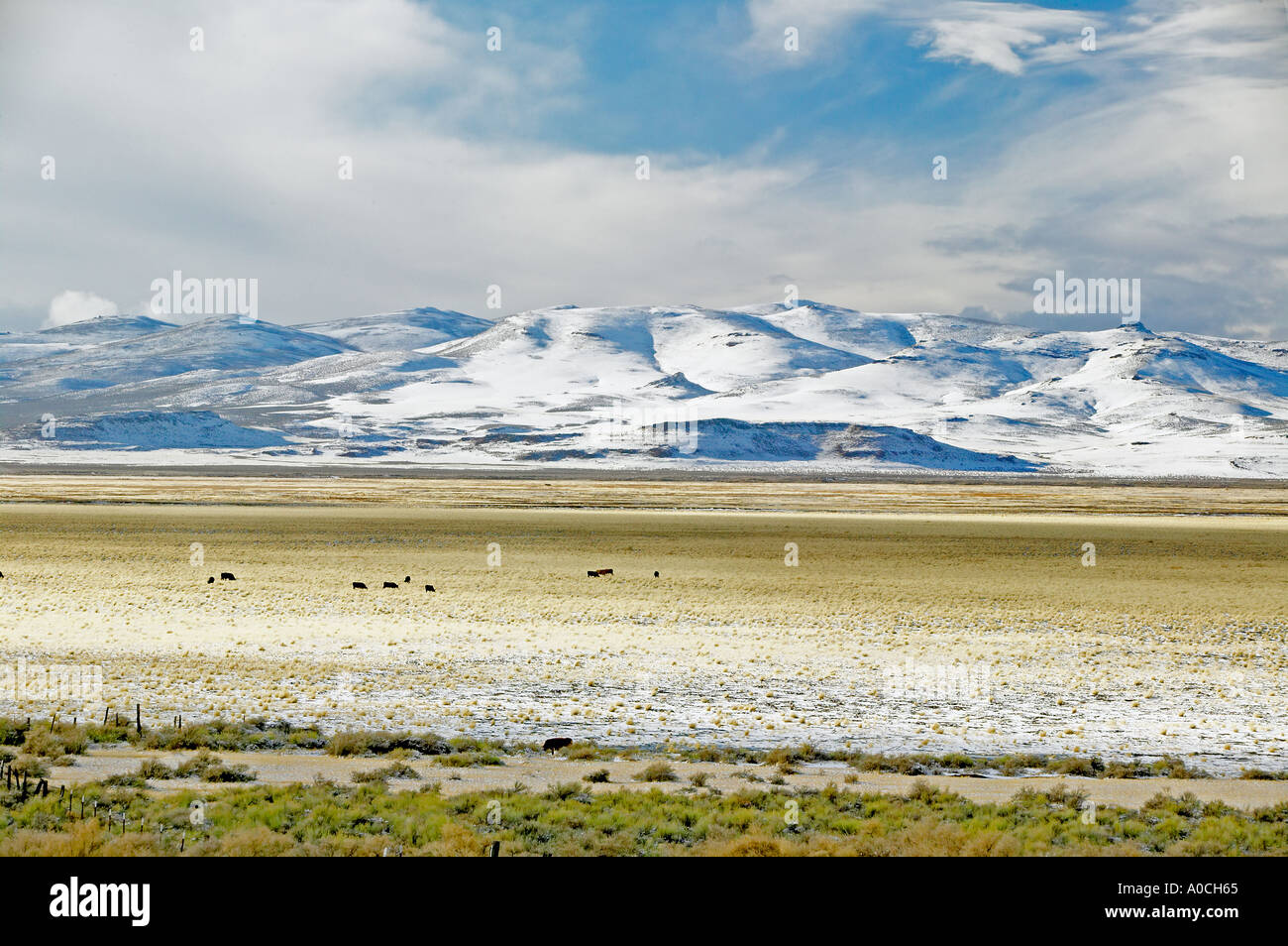 Cows in pasture of Warner Valley with snow Oregon - Stock Image