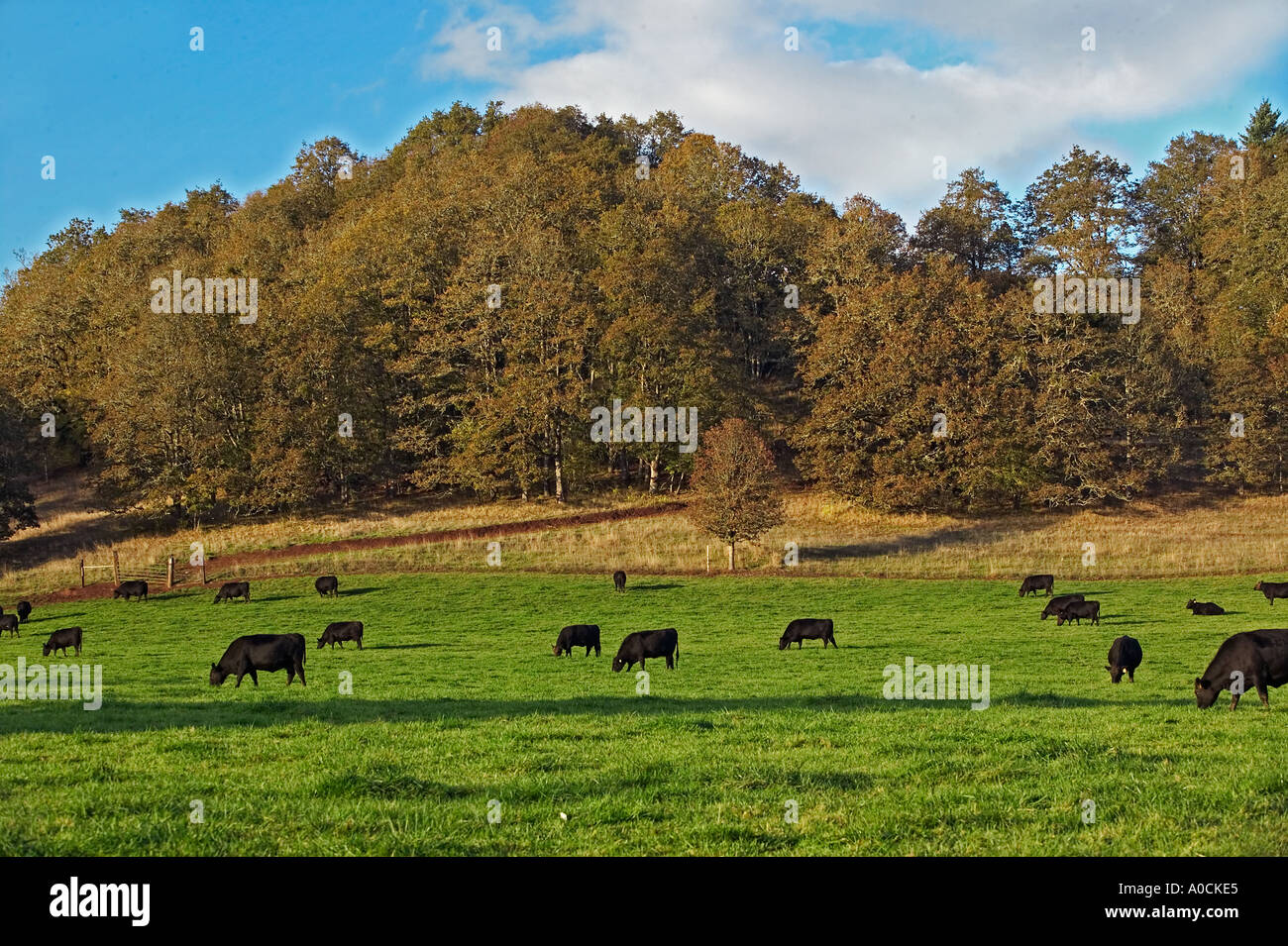 Angus cows in fall pasture Near Junction City Oregon - Stock Image
