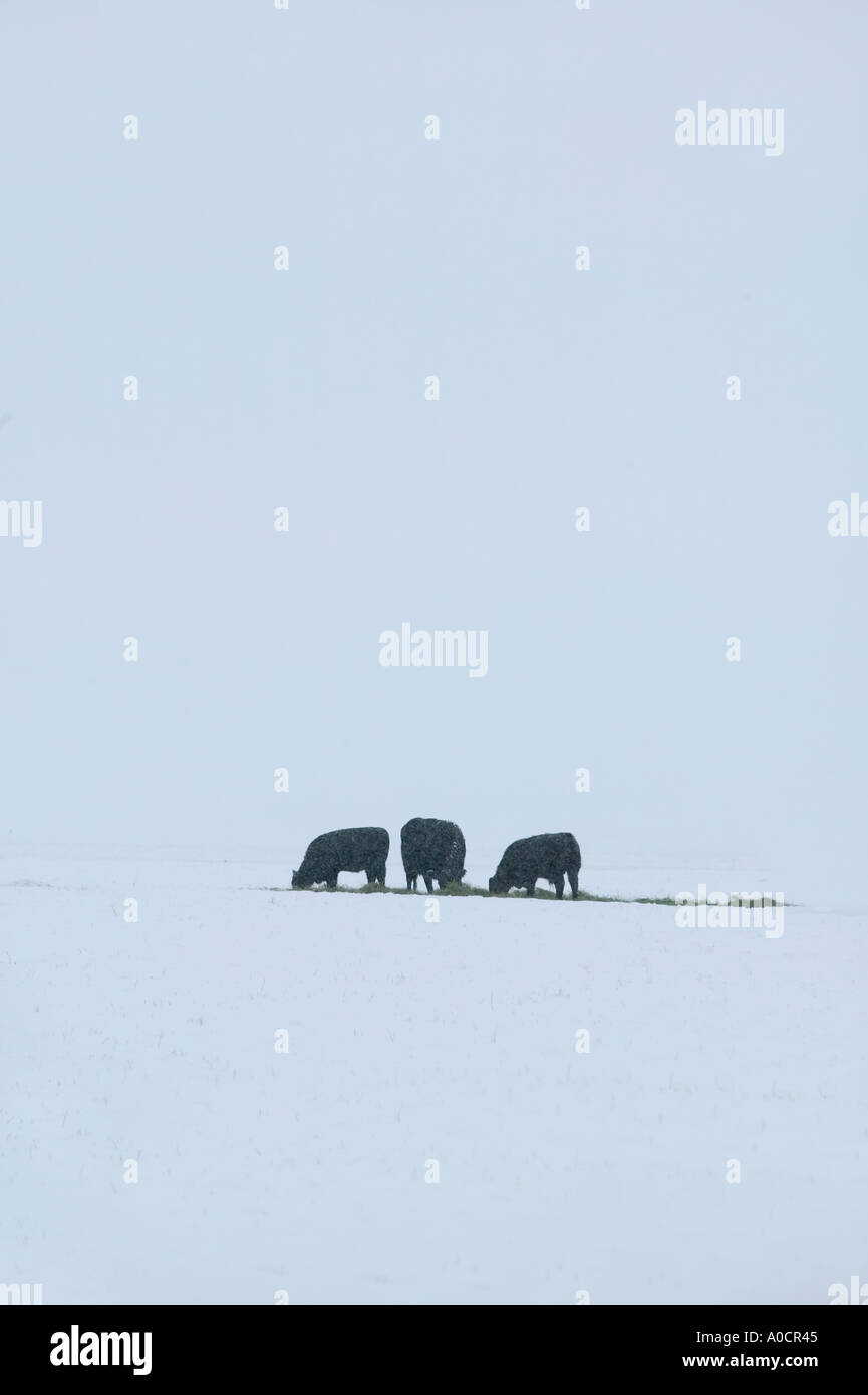 Cows eating dropped hay in snowy field Near Joseph Oregon - Stock Image