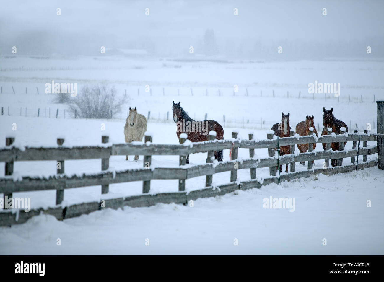 Horses in snowy pasture with fence Near Joseph Oregon - Stock Image