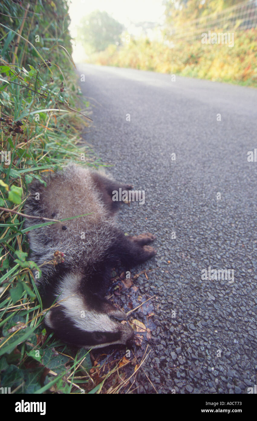 A badger killed by traffic lies beside a country road Devon Great Britain - Stock Image