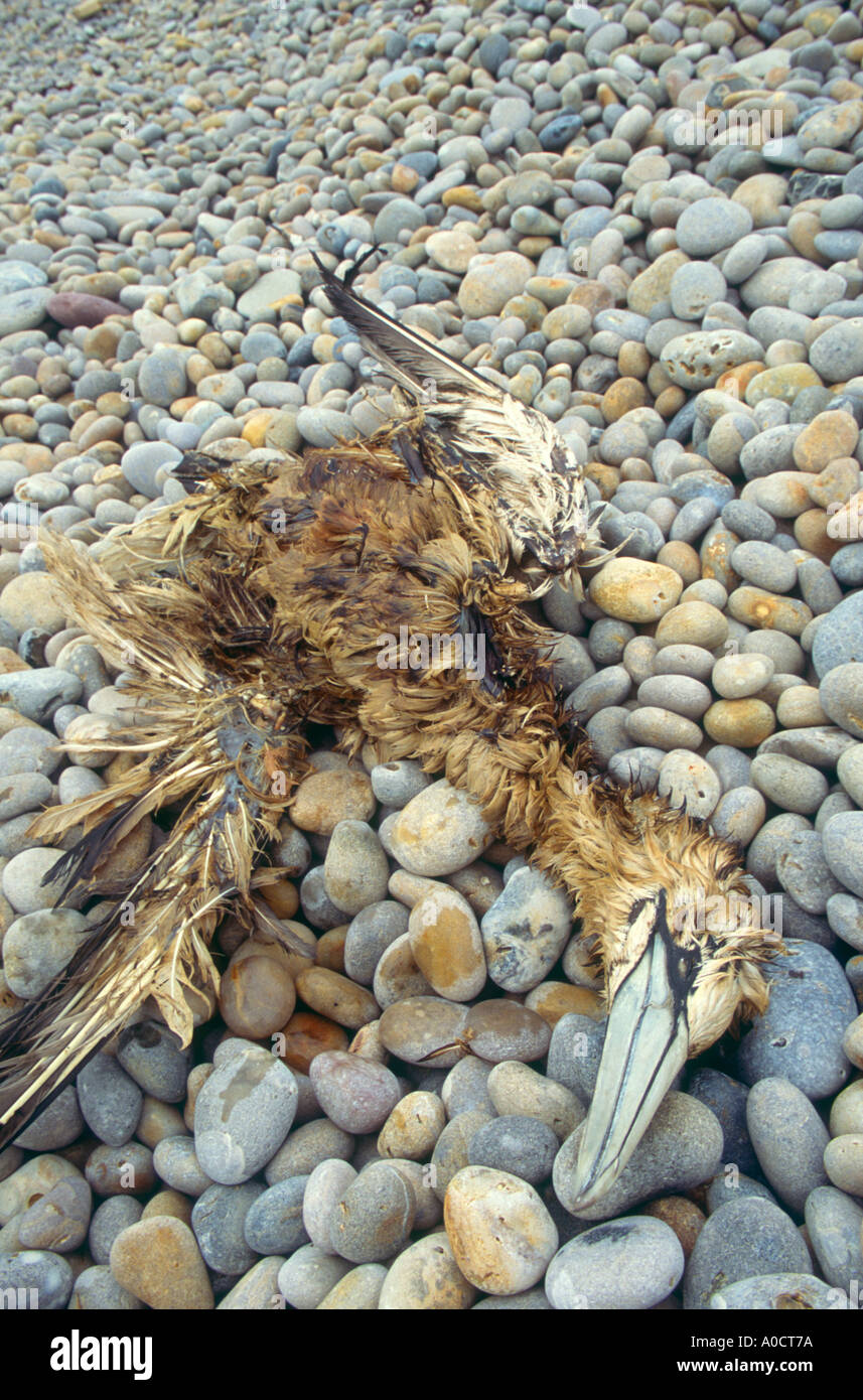 A dead gannet Sula bassana killed by oiling at sea Chesil Beach nr Portland Dorset Great Britain - Stock Image