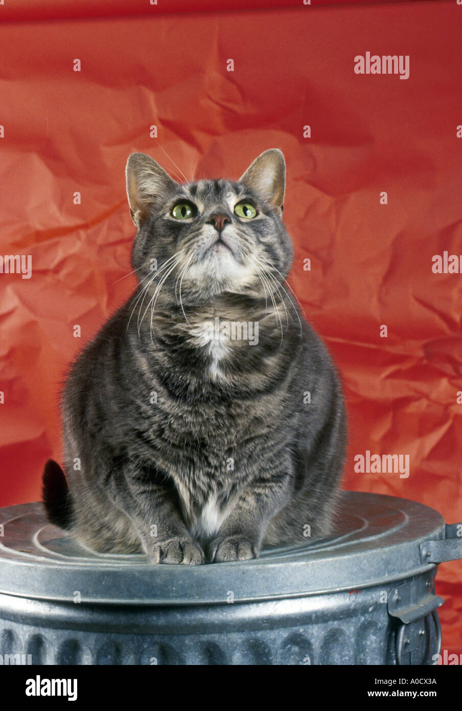 Grey Fat Tiger Cat On Trash Can Stock Photo 3250745 Alamy