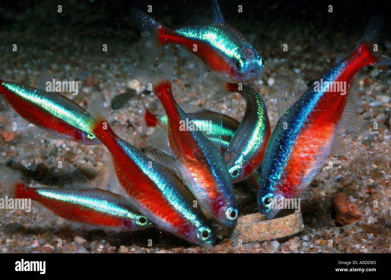 Neon Fish Neon Tetras Cheirodon Axelrodi School Shoal Of Fish Red