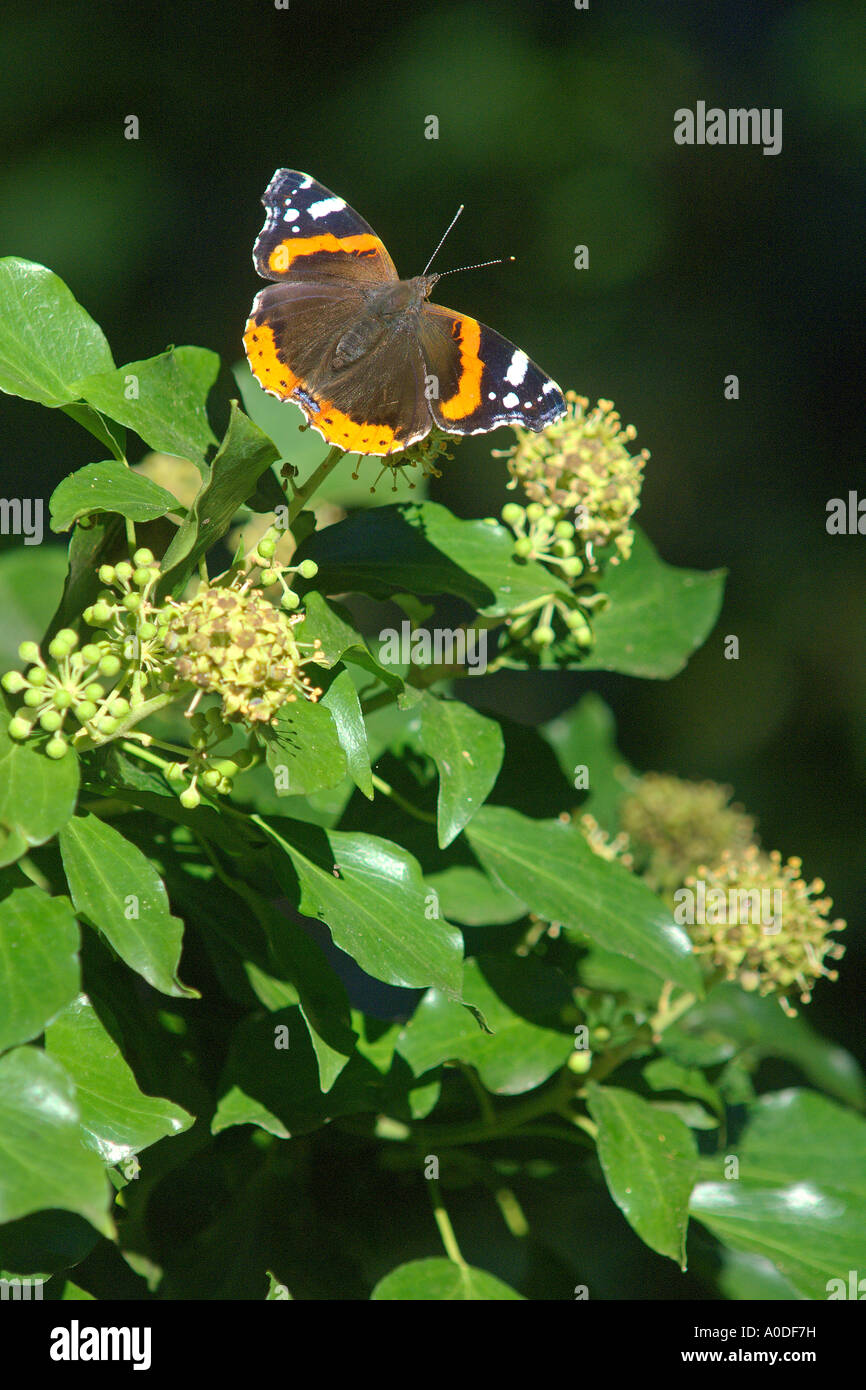 Red admiral butterfly Vanessa atalanta nectaring on ivy flower Hedera helix Bedfordshire England October - Stock Image
