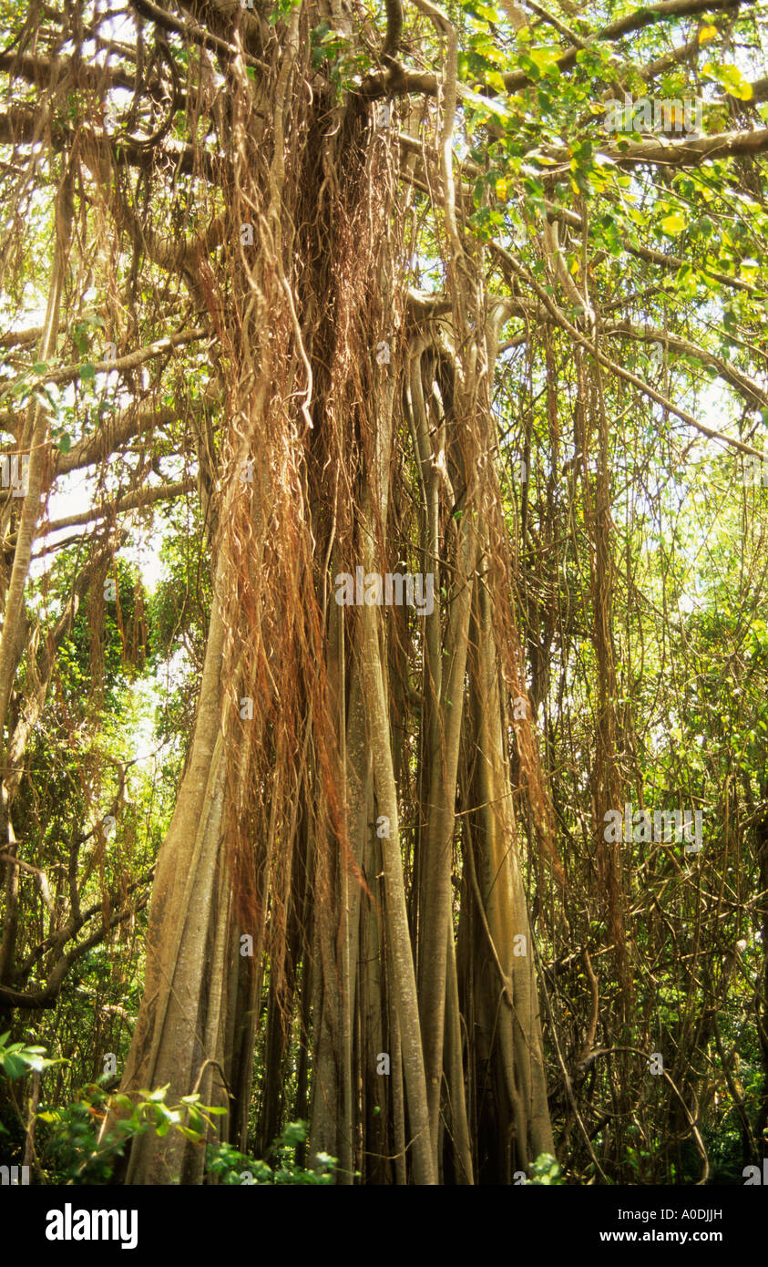 Bearded Fig Tree, Ficus citrifolia, Barbados Stock Photo: 9963064 ...