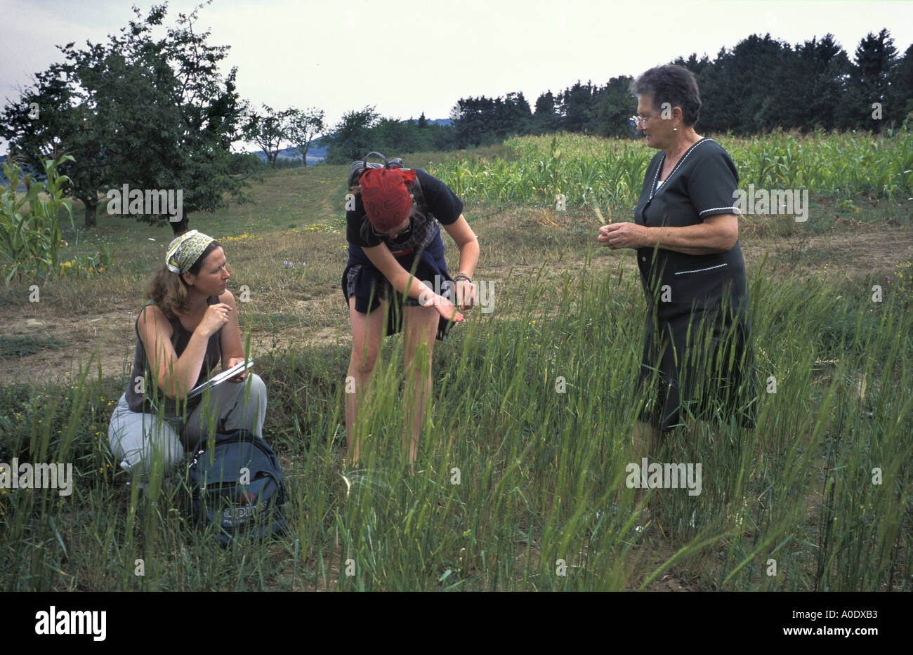 Researchers study tiny field of Einkorn an ancient variety of wheat grown in Transylvania Romania for hat making - Stock Image