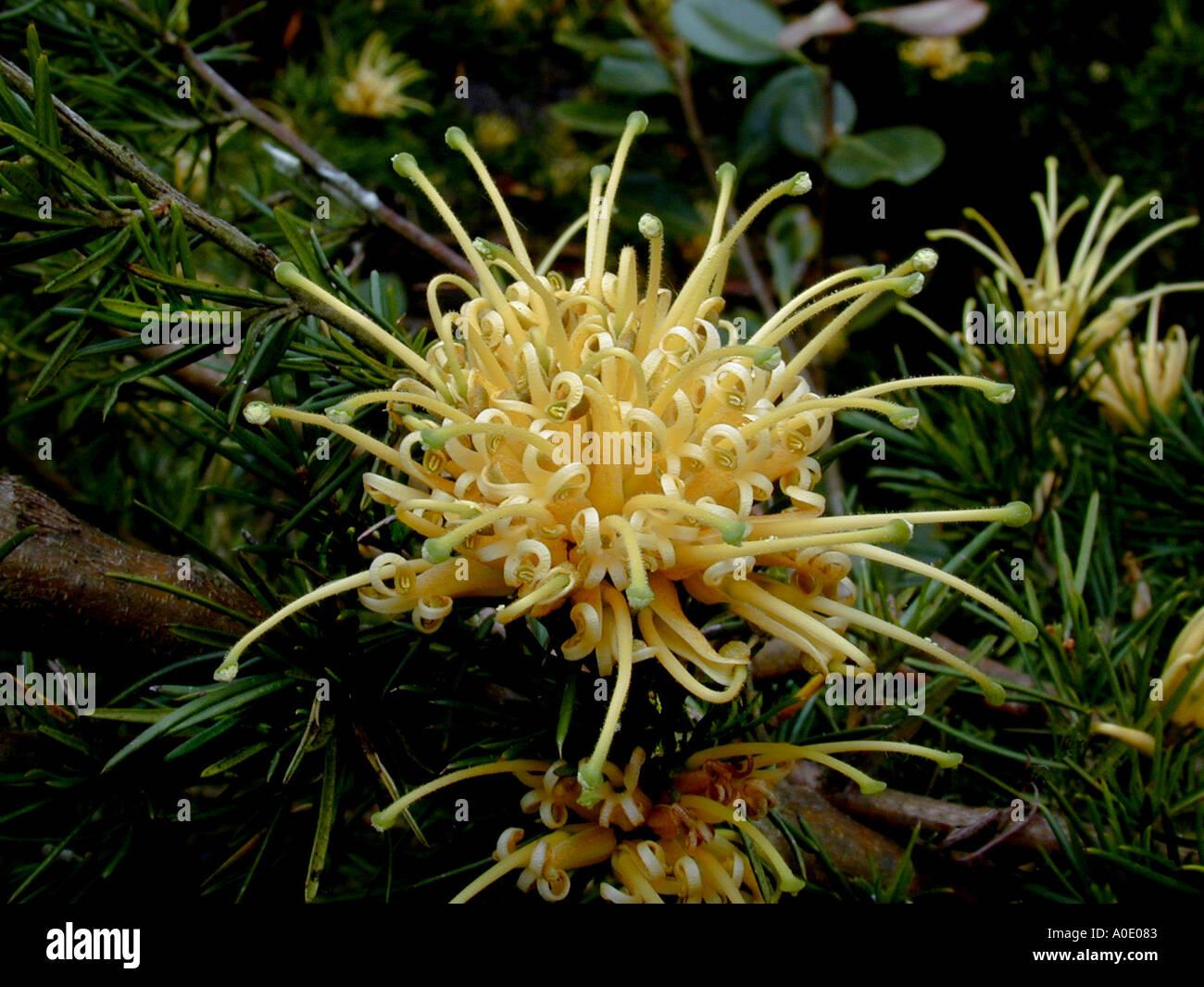Grevillea Garden Stock Photos Grevillea Garden Stock Images Page