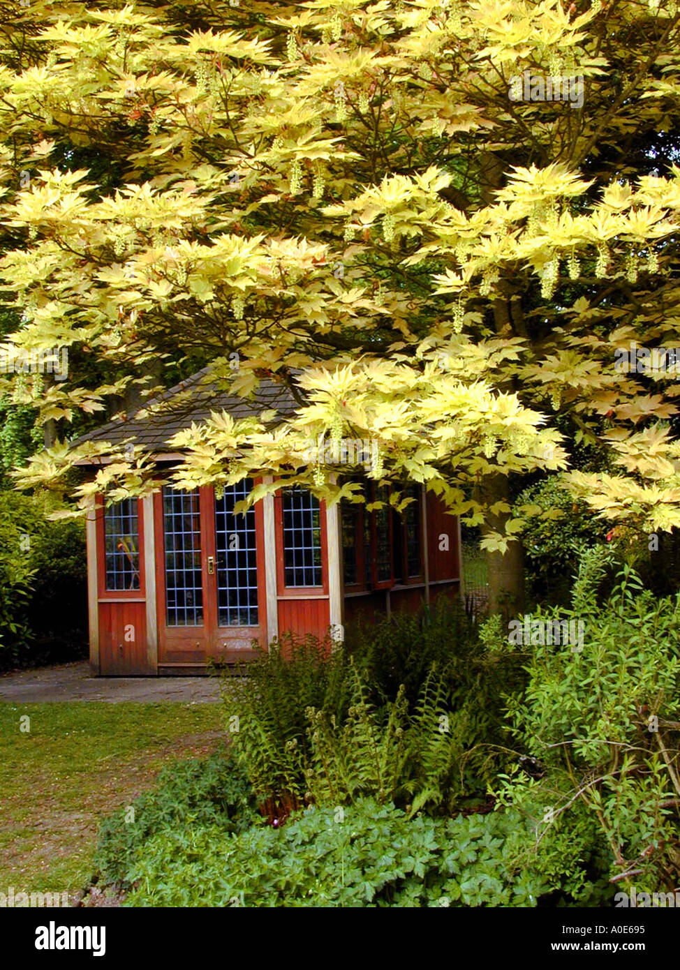 Acer brilliantissimum at summerhouse - Stock Image