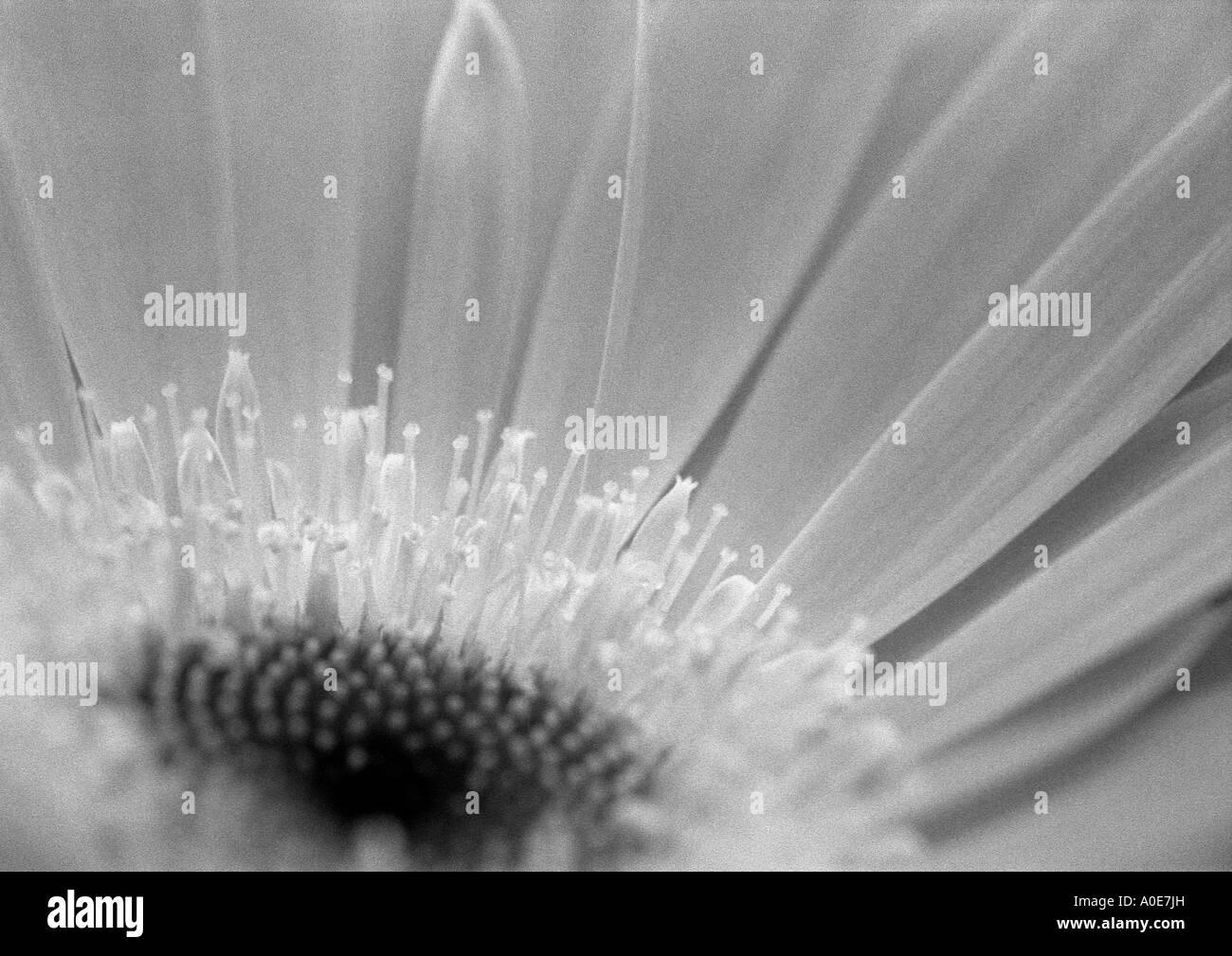 Monochrome Gerbera Stock Photo