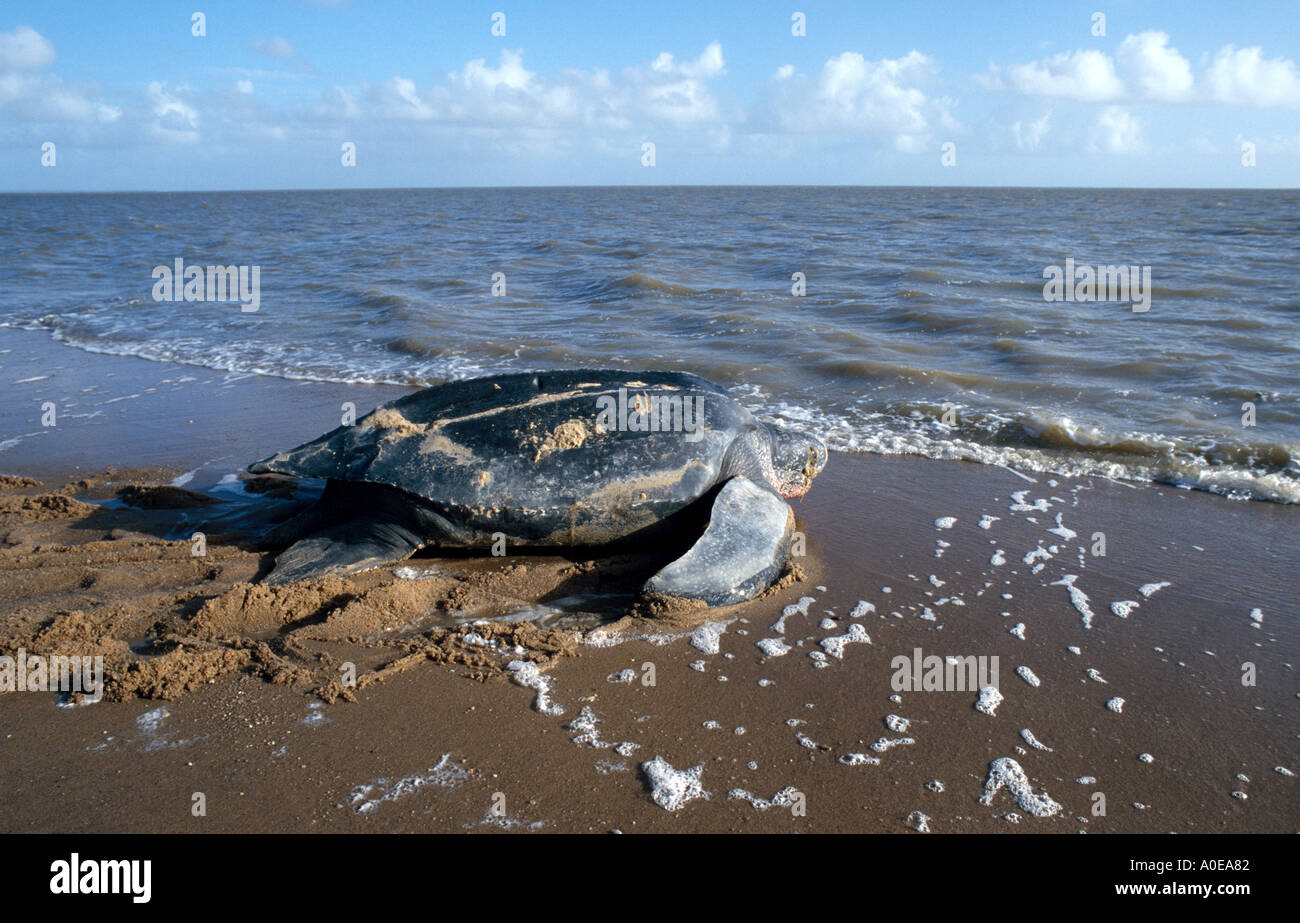 Sea Turtle coming from the beach in Suriname - Stock Image