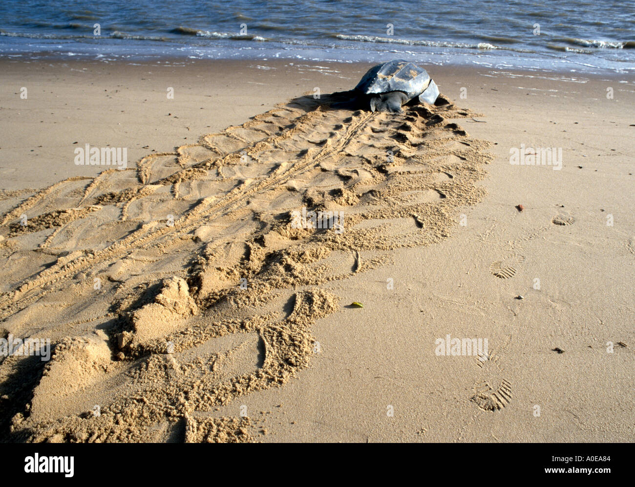 Sea Turtle going to the sea in Suriname after laying eggs on the beach - Stock Image