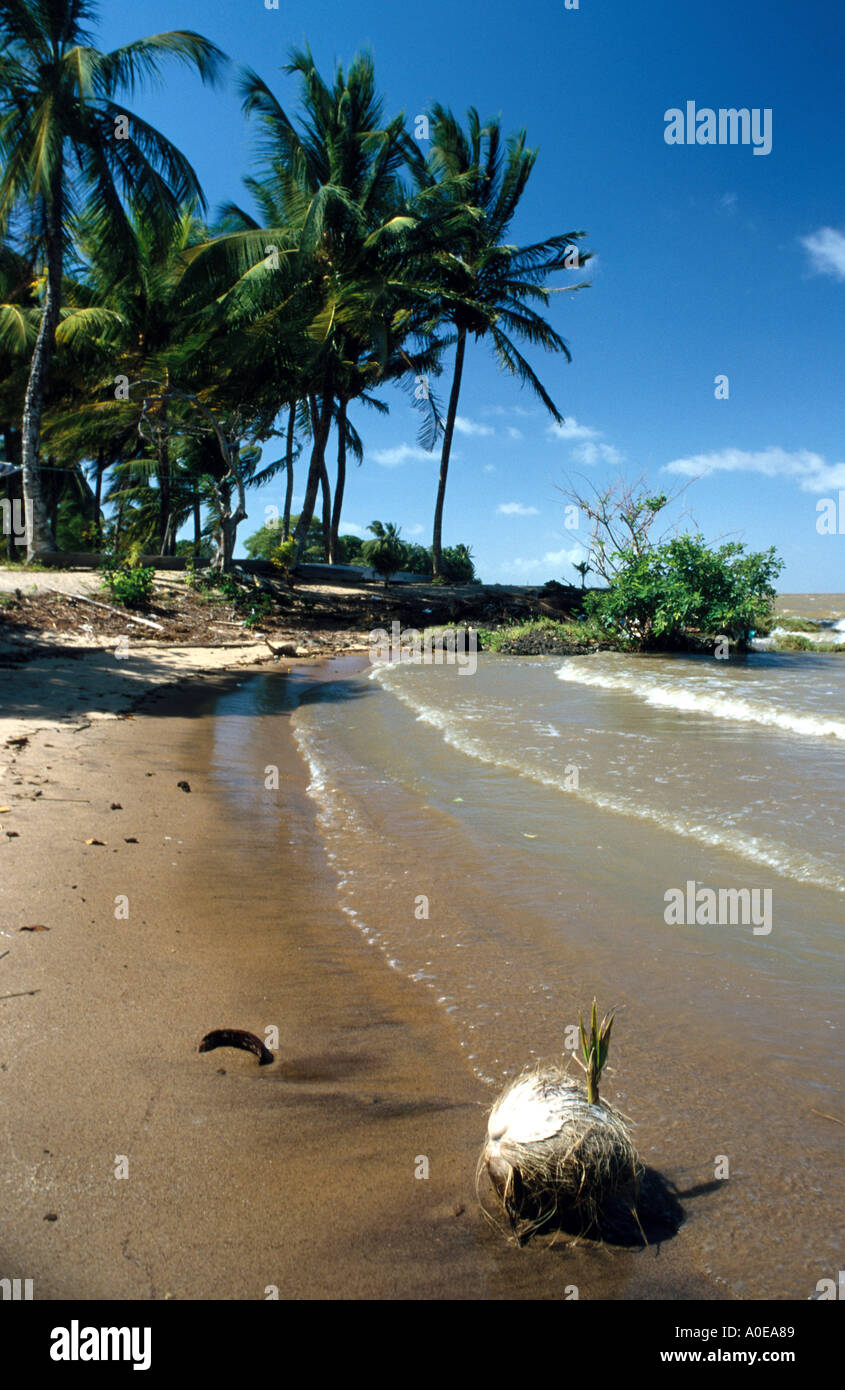 Coco nut on beach in Galibi in Suriname - Stock Image