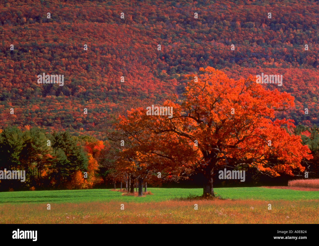 Lone tree with red fall foliage in a field with hillside