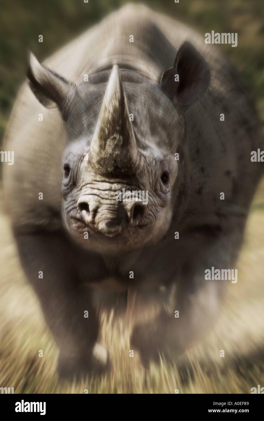 Charging black rhinoceros Kenya - Stock Image