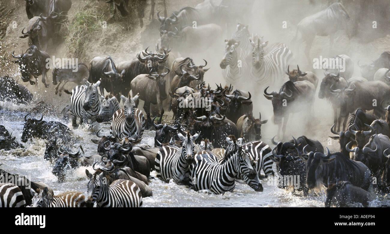 Wildebeest and zebra crossing Mara River Great Migration Kenya Stock Photo