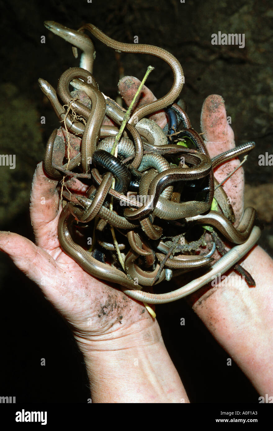 many slow worm worms two hands holding mass of slowworms Stock Photo