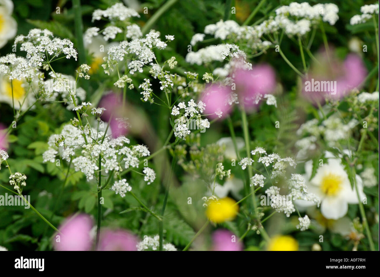 Hedgerows spring flowers stock photos hedgerows spring flowers common british wild flowers of the hedgerows spring flowers cow parsley burnett roses mightylinksfo