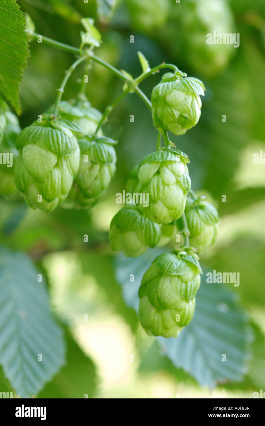 Hop flowers or umbels are used to flavour beer. - Stock Image